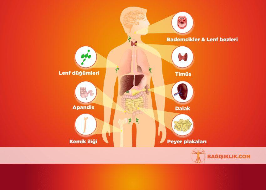 Bağışıklık Sisteminin Yapısı   Bağışıklık